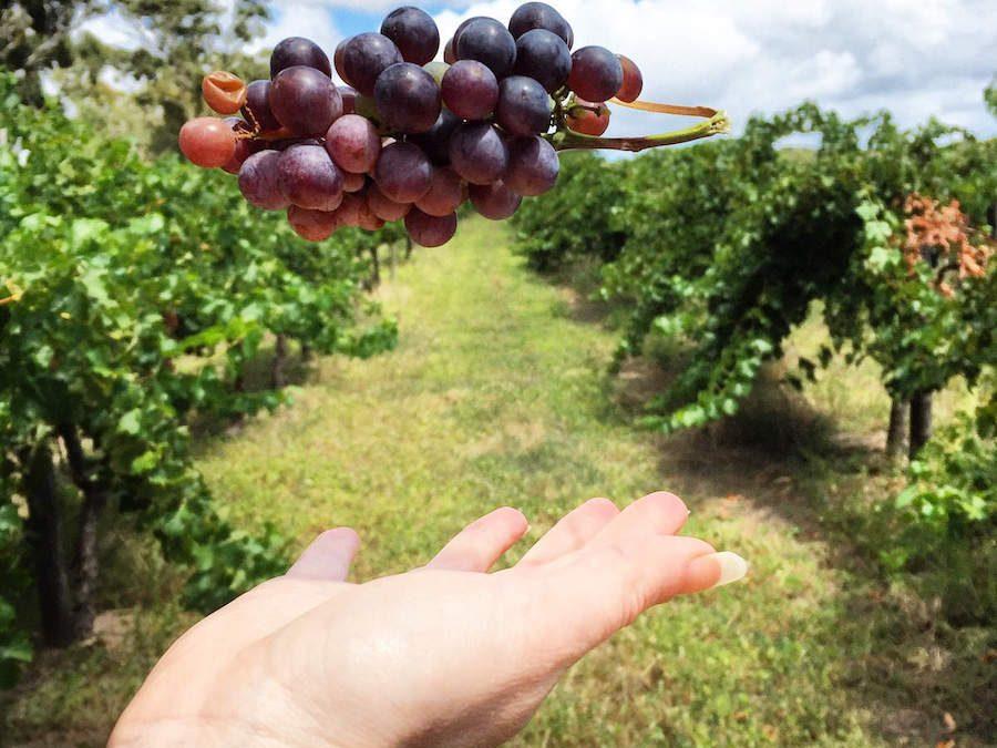 McLaren Vale – Alternative Grape Varietals in Australia