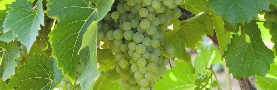 Featured Grape Varietal – Chenin Blanc