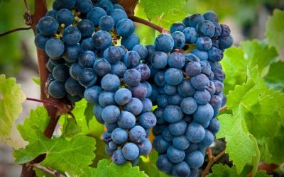 Featured grape varietal – Cabernet Sauvignon