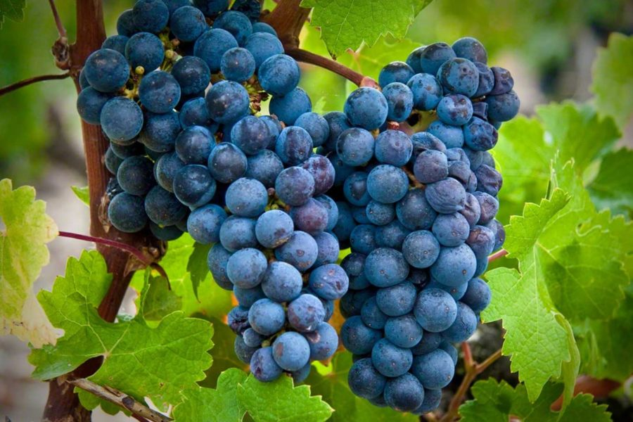 Featured grape varietal – Cabernet Sauvignon