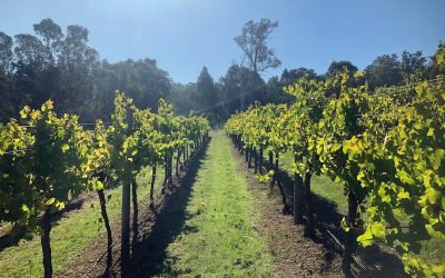 Featured grape varietal – Chardonnay