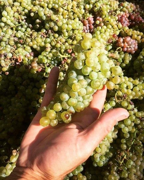 Featured grape varietal – Chardonnay