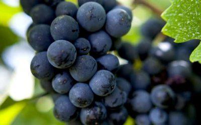 Featured grape varietal – Pinot Noir – The undisputed King of Burgundy
