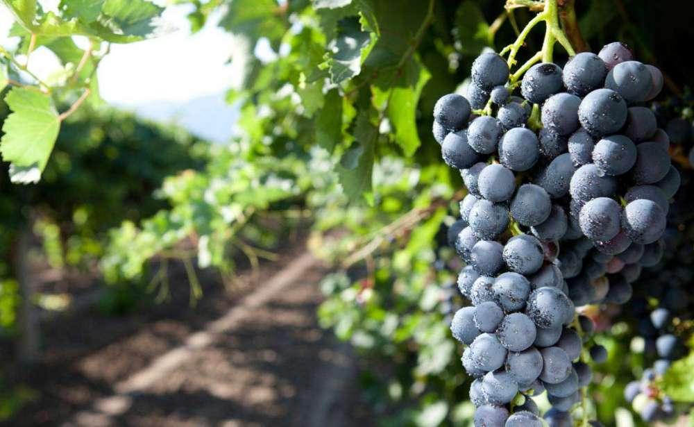Featured grape varietal: Nero – The Black Grape of Avola