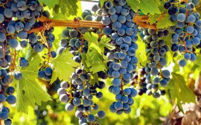 Featured grape varietal – Cabernet Franc