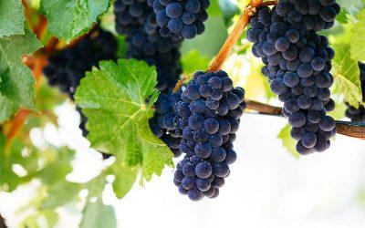 Featured grape varietal – Pinot Noir